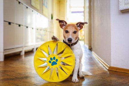 Photo pour Jack russell chien jouant avec balle, jouet ou disque., attendant et prêt à jouer avec le propriétaire - image libre de droit