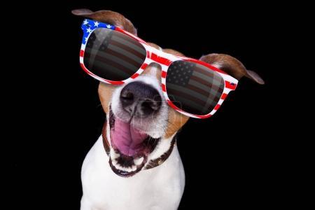 Photo pour Jack Russell chien criant 4 juillet le jour de l'indépendance, isolé sur fond noir foncé - image libre de droit
