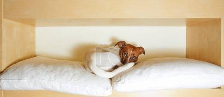 Photo pour Jack Russell terrier chien reposant ayant une sieste sur son lit fatigué et endormi - image libre de droit