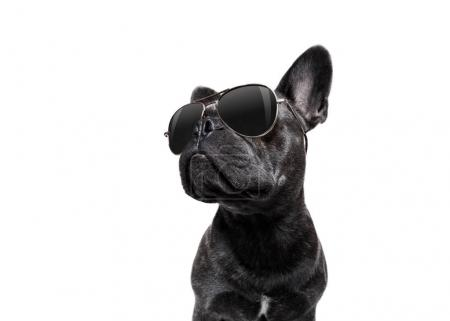 Photo for Cool trendy posing french bulldog with sunglasses looking up like a model , isolated on white background - Royalty Free Image