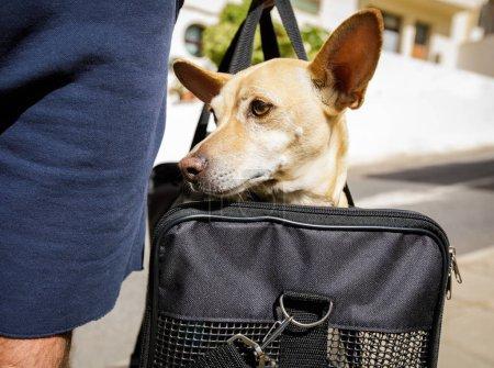 Photo pour Chihuahua chien dans un sac de transport ou une boîte prêt à voyager comme animal de compagnie en cabine dans un avion ou un avion en tant que passager - image libre de droit