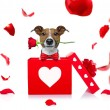 Jack russell dog in love for happy valentines day ...