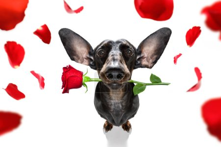 Photo for Dachshund  sausage dog  in love for happy valentines day with  rose flower in  mouth , isaolated on white background petals flying around in air - Royalty Free Image