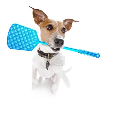 Jack Russell Hund unter Berücksichtigung des Problems der Zecken Insekten und Flöhe, in der Nähe seiner Haut oder Fell kratzen, isoliert auf weißem Hintergrund, mit einer Fliegenklatsche