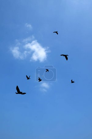 Silhouette  of birds flying with blue sky.