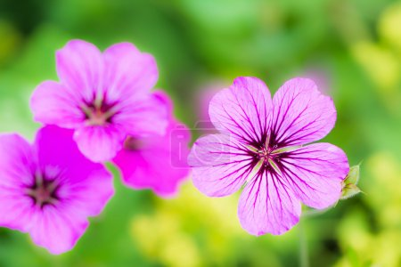 Geranium flower blossoms