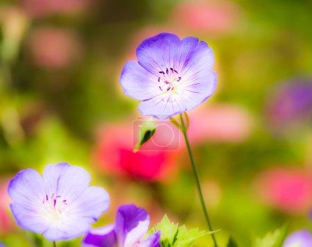 Geranium flower blossoms