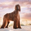 An Afghan Hound Standing on Sand at Sunset...