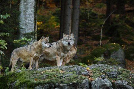 Grey wolf into the forest
