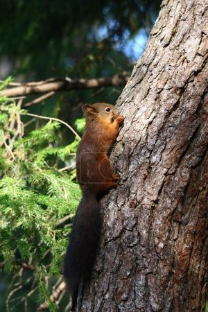 Photo pour Écureuil roux d'Europe dans la forêt - image libre de droit