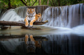 Tiger sit in waterfall in deep wild, this photo can use for nature, safari and jungle concept