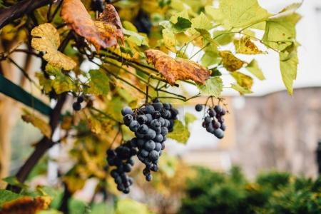Vineyards in Tuscany. vineyard with ripe grapes in countryside at sunset