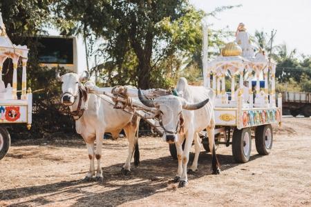 Indian white bulls for Sankranthi Festival