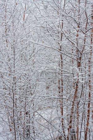 Photo pour Jeune forêt de bouleaux recouverte de neige blanche fraîche et propre. forêt paysage d'hiver. givre sur les branches. brouillard froid du matin . - image libre de droit