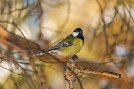 Photo for Bird tit is sitting on a pine branch. late autumn or early winter. birds close up. - Royalty Free Image