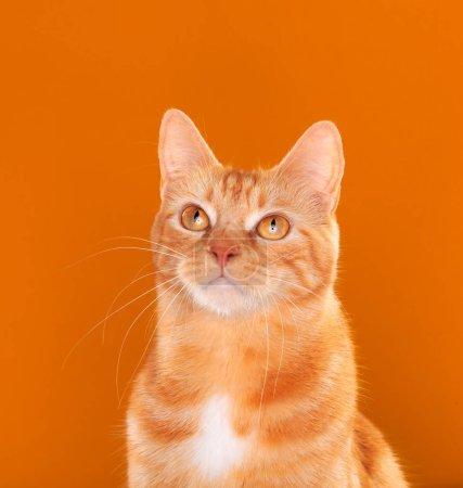 Photo pour Magnifique chat au gingembre regardant vers le haut sur fond orange - image libre de droit