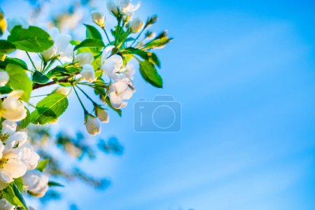Branches of a beautiful blooming apple tree against the blue sky. Copy space for text.