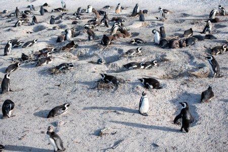 Photo pour Pingouins africains, la plage de rochers - image libre de droit