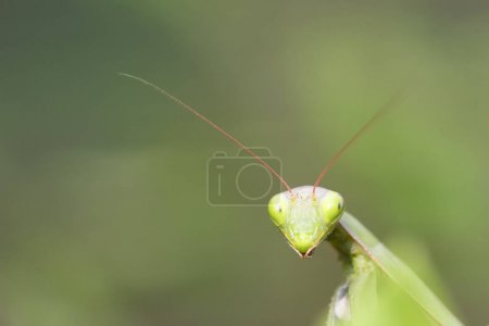 Photo for Green mantis head, close up - Royalty Free Image
