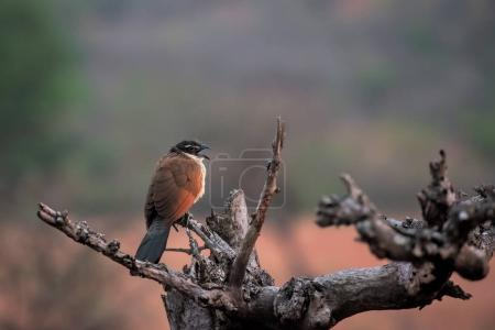 coucal of burchell sitting on a dry branch