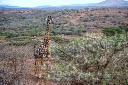 giraffe in south Africa