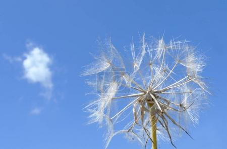 dandelion over blue sky