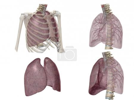 Four different views on lungs