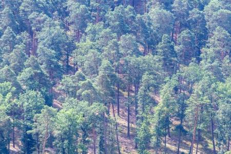 pine forest in mountains
