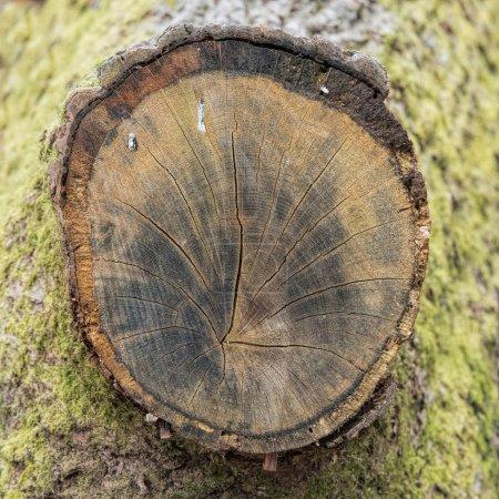 Photo pour Anneaux annuels de tronc d'arbre coupé dans la forêt - image libre de droit