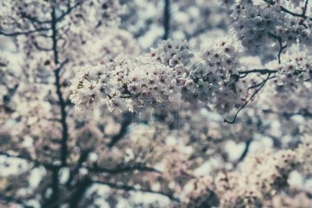 Sakura blossoms cherry tress in spring time, Japan. Selective focus
