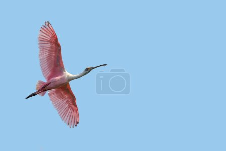 Beautiful tropical Spoonbill against blue sky
