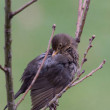 Female Blackbird cleans the plumage on a tree, gre...