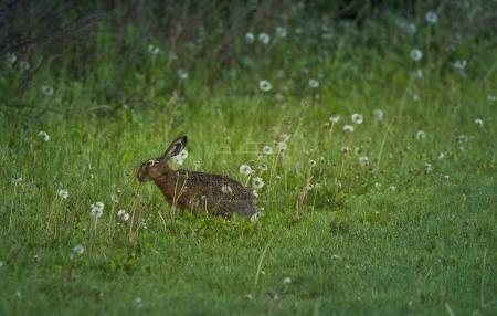 Photo for Cute Rabbit on the meadow in the morning - Royalty Free Image