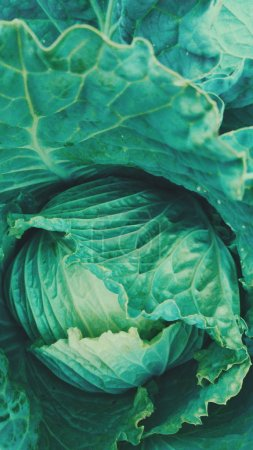 green cabbage texture