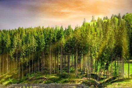 Photo pour Forêt verte sur fond de coucher de soleil - image libre de droit