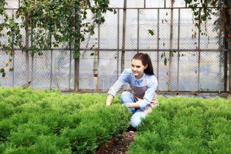 Pretty young gardener looking after juniper in greenhouse