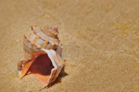 Beautiful seashell on sand shore