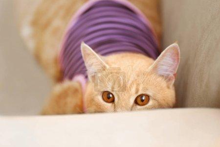 Photo pour Funny cat rouge en vêtements sur coach - image libre de droit