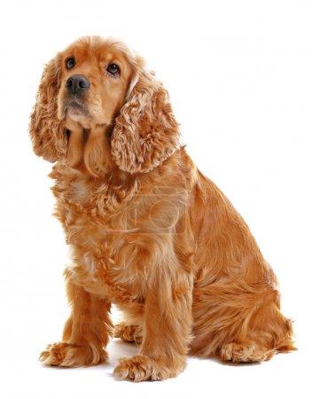 Photo pour Adorable chien sur fond blanc - image libre de droit