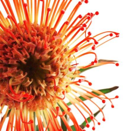 Beautiful Proteus flower