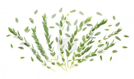 Photo for Green eucalyptus branches on white background - Royalty Free Image