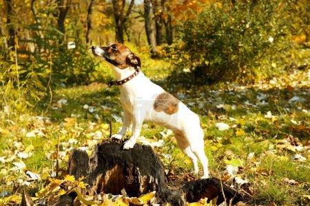 Photo pour Drôle Jack Russell terrier dans le parc d'automne le jour ensoleillé - image libre de droit