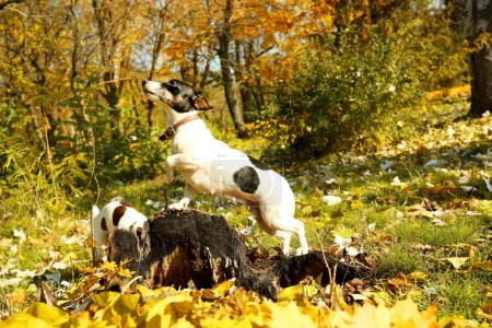 Funny Jack Russell terriers in autumn park