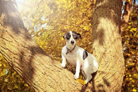 Funny Jack Russell terrier on tree