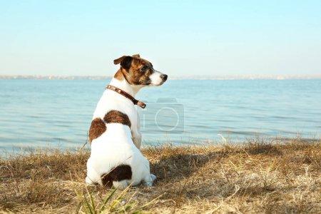 Photo pour Drôle Jack Russell terrier près de la rivière sur une journée ensoleillée - image libre de droit