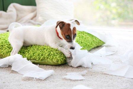 Photo pour Jack Russell Terrier mordre du papier à la maison - image libre de droit