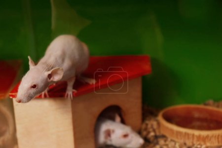 Decorative hairless rats in cage