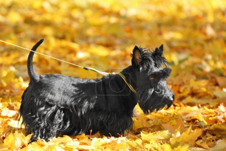 Photo for Funny scotch terrier in beautiful autumn park on sunny day - Royalty Free Image