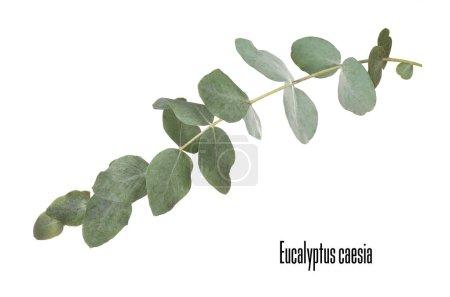 Photo pour Branche d'eucalyptus vert avec nom sur fond blanc - image libre de droit