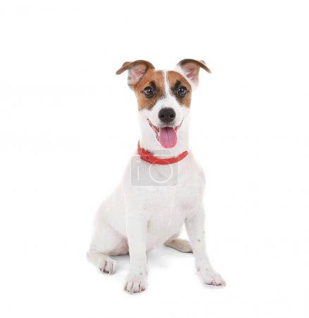 Photo pour Jack Russell terrier, isolé sur blanc - image libre de droit